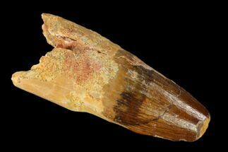 "Buy Bargain, 1.85"" Spinosaurus Tooth - Real Dinosaur Tooth - #148915"