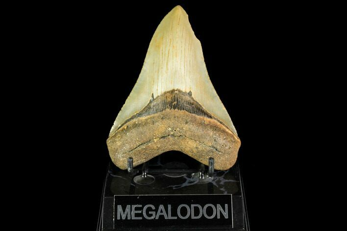 "4.64"" Serrated, Fossil Megalodon Tooth - North Carolina"