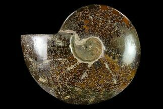 "7.2""  Polished, Agatized Ammonite (Cleoniceras) - Madagascar For Sale, #149174"