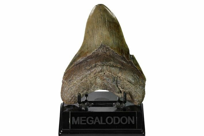 "Serrated, 5.01"" Fossil Megalodon Tooth - South Carolina"