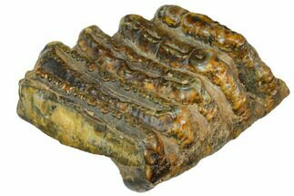 "Buy 4.8"" Partial, Fossil Stegodon Molar - Indonesia - #149725"