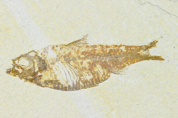 "Bargain, 4.1"" Fossil Fish (Knightia) - Wyoming"