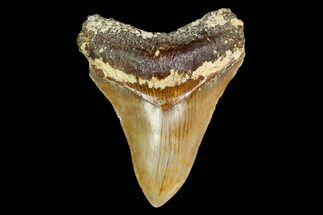 "Buy Serrated, 5.01"" Fossil Megalodon Tooth - Indonesia - #149848"