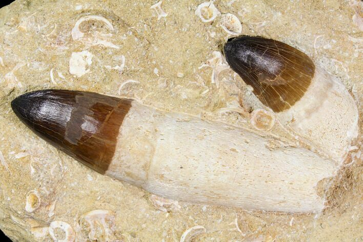 Two, Large, Rare Rooted Mosasaur (Prognathodon currii) Teeth