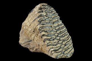 "6.45"" Fossil Woolly Mammoth Upper M2 Molar - North Sea Deposits For Sale, #149759"