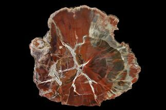 "4.8"" Polished Petrified Wood (Araucaria) Round - Arizona For Sale, #150038"