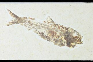"5.5"" Fossil Fish (Knightia) - Wyoming For Sale, #150341"