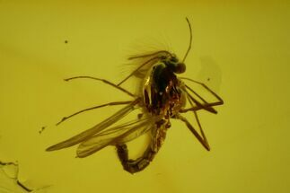 Buy Two Fossil Flies (Diptera) In Baltic Amber - #150703