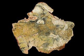 Strelley Pool Stromatolite - Fossils For Sale - #150681