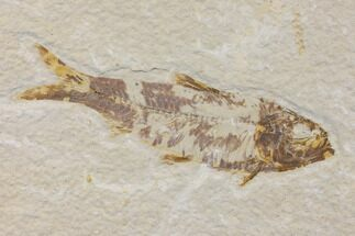 "Bargain 3.1"" Fossil Fish (Knightia) - Wyoming For Sale, #150578"