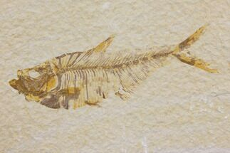 "Buy 3.5"" Fossil Fish (Diplomystus) - Green River Formation - #150637"