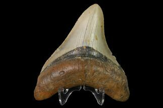 Carcharocles megalodon - Fossils For Sale - #147018