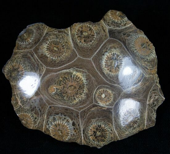 "2.8"" Polished Fossil Coral Head - Very Detailed"
