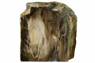 "5.1"" Polished, Petrified Dawn Redwood Stand Up - Oregon For Sale, #152402"