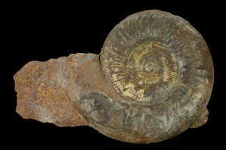"Buy 3.15"" Toarcian Ammonite Fossil - France - #152743"