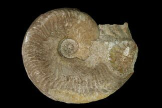 "1.6"" Aalenian Ammonite (Ludwigia) Fossil - France For Sale, #152744"