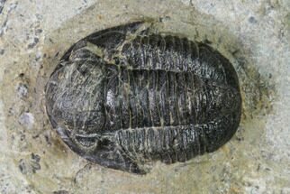 ".75"" Detailed Gerastos Trilobite Fossil - Morocco For Sale, #152804"