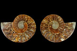 Cleoniceras - Fossils For Sale - #145911