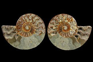 "Buy Bargain, 6.5"" Cut & Polished Ammonite Fossil (Pair) - Madagascar - #148054"