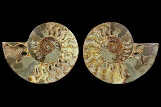 "Buy Bargain, 5.6"" Cut & Polished Ammonite Fossil (Pair) - Madagascar - #148060"