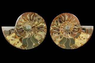 Cleoniceras - Fossils For Sale - #148062