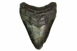 "Buy Bargain, 3.59"" Fossil Megalodon Tooth - North Carolina - #153106"
