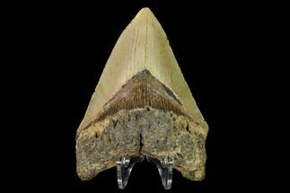 "Buy 4.47"" Fossil Megalodon Tooth - North Carolina - #147772"