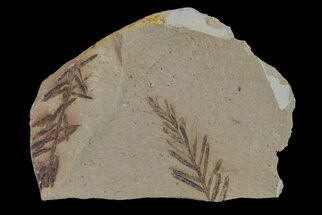 "1.3"" Dawn Redwood (Metasequoia) Fossil - Montana For Sale, #153719"
