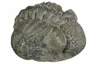 "Buy Bumpy, Enrolled Drotops Trilobite - About 4.5"" Around - #153961"