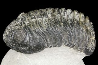 "4.8"" Drotops Trilobite With White Patina - Great Eyes! For Sale, #153962"