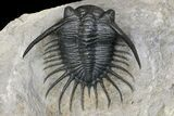 "2.8"" Excellent Kayserops megaspina Trilobite - Oued Ghris, Morocco - #154302-1"