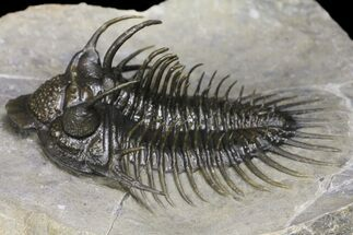 "Buy 2.2"" Spiny Comura Trilobite - Exceptional Preparation - #154303"