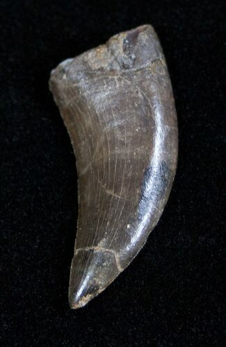 Extremely Rare Marshosaurus Tooth - Dana Quarry