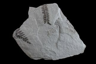 "Buy 8"" Fossil Fern (Neuropteris & Macroneuropteris) Plate - Kentucky - #154732"