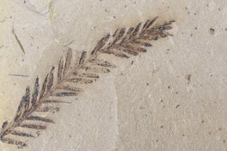 Metasequoia (Dawn Redwood) - Fossils For Sale - #153720