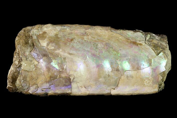 "4.9"" Very Iridescent Fossil Baculites Section - South Dakota"