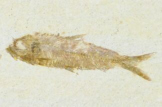 "3.1"" Detailed Fossil Fish (Knightia) - Wyoming For Sale, #155471"