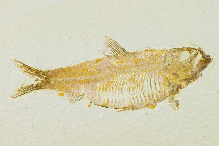 "4.8"" Detailed Fossil Fish (Knightia) - Wyoming"