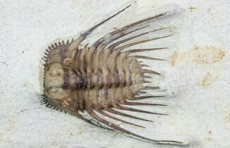 ".79"" Kettneraspis Trilobite - Black Cat Mountain, Oklahoma For Sale, #104048"