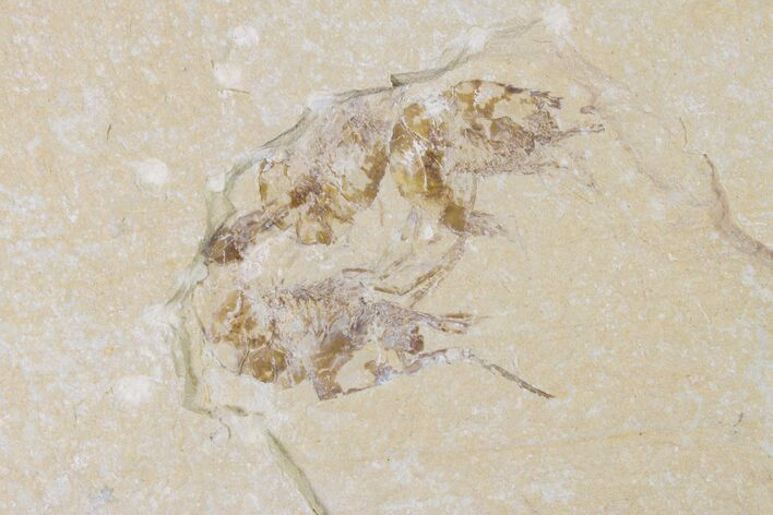 Three Cretaceous Fossil Shrimp (Carpopenaeus) - Lebanon