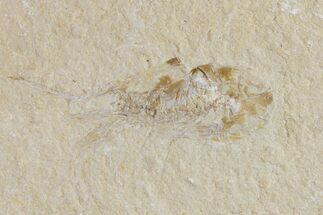"1.6"" Cretaceous Fossil Shrimp (Carpopenaeus) - Lebanon For Sale, #154556"