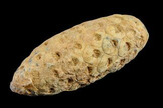 Unidentified - Fossils For Sale - #155103
