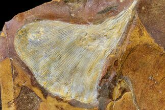 "Buy 2.5"" Fossil Ginkgo Leaf From North Dakota - Paleocene - #156229"