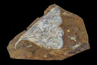 "Buy 3.2"" Fossil Ginkgo Leaf From North Dakota - Paleocene - #156235"