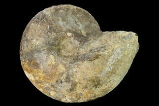 Placenticeras cumminsi - Fossils For Sale - #157233