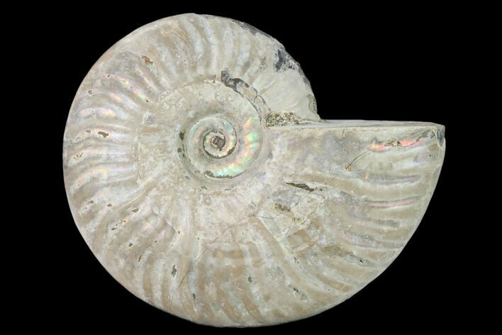 "4.9"" Silver Iridescent Ammonite (Cleoniceras) Fossil - Madagascar"