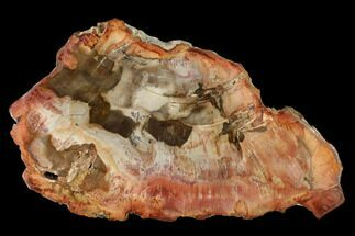 "6.1"" Petrified Wood (Araucaria) Slab - Madagascar  For Sale, #157838"