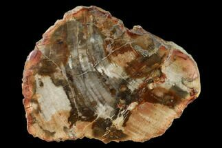 "Buy 5.8"" Petrified Wood (Araucaria) Slab - Madagascar  - #157867"