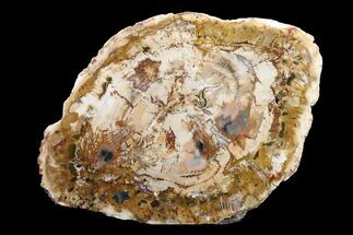 "Buy 7"" Petrified Wood (Araucaria) Round - Madagascar  - #157765"