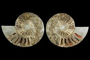 Ammonite Fossils For Sale